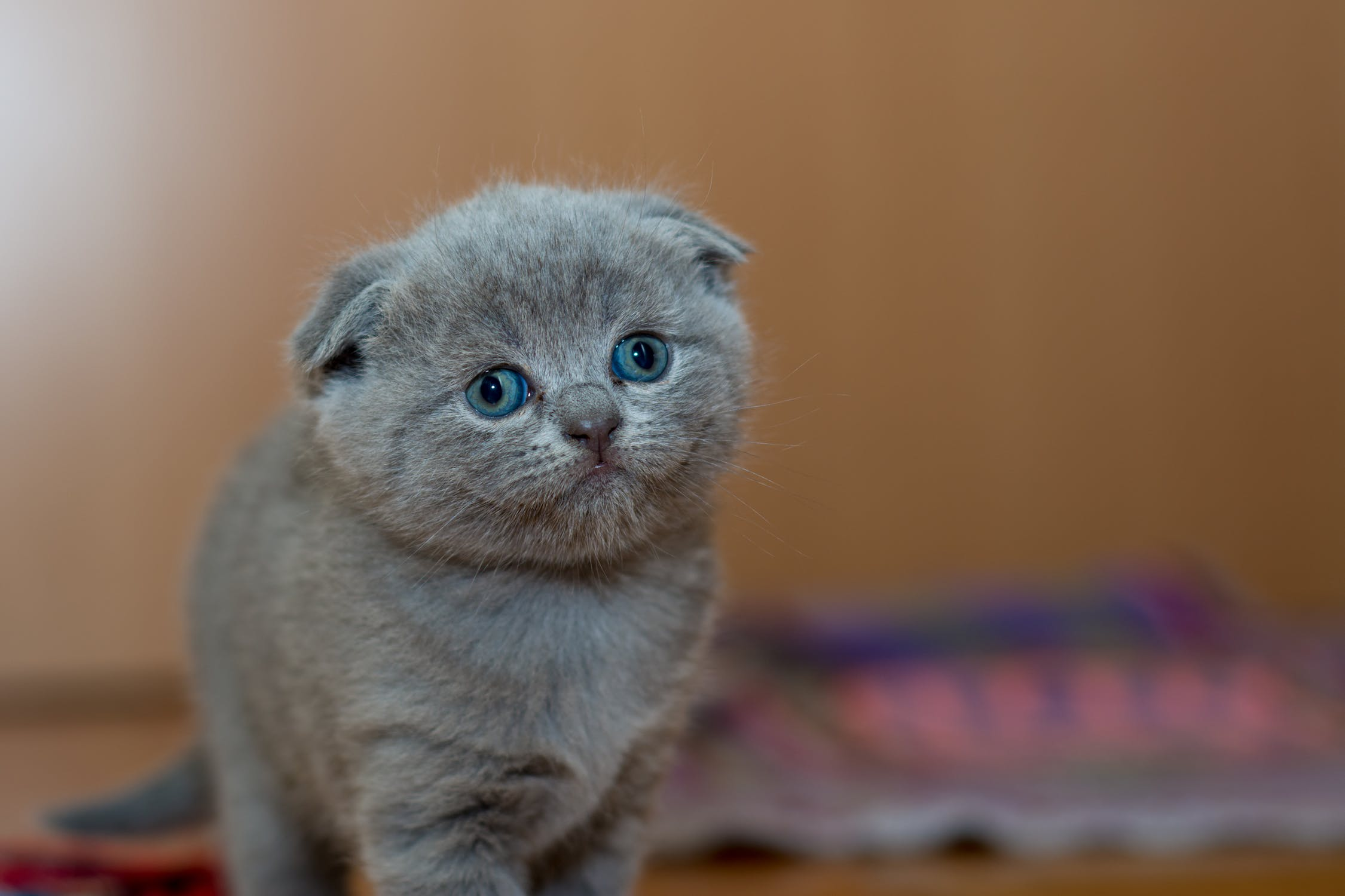 A grey flat-faced kitten with blue-green eyes looking at the camera against a blurred background.
